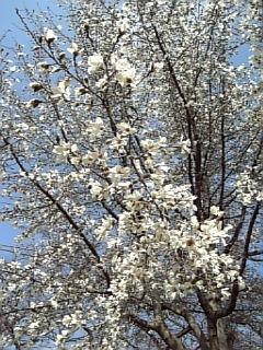 白い花、満開〓